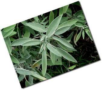 Лекарственные травы шалфей